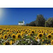 Компания реализует семена подсолнечника Фаворит (гибрид) румынской селекции фото