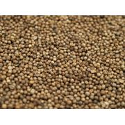 Кориандр семена кориандра от производителя купить кориандр оптом фото