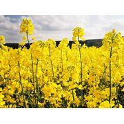 Рапс рапс от производителя купить рапс семена рапса Украина фото