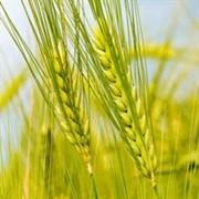 Закупаем пшеницу 5 класса фото
