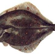 Камбала тихокеанская (морской язык) с/м фото