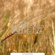 Зерно пшеницы мягкой яровой фото