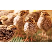 Инкубация молодняка птицы фото