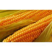 Кукуруза семенная Украина