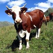 Выращивание скота фото