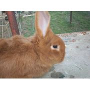 Кролик племенной Новозеландский красный фото