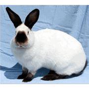 Кролики породы Калифорнийский. фото