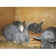 Молодняк кроликов породы Венский голубой фото