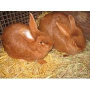 Крольчата породы новозеландская красная фото