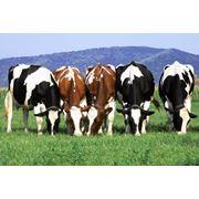 Спермопродукция украинских мясных пород быков фото