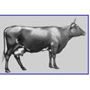 Коровы КРАСНОЙ МОЛОЧНОЙ породы фото