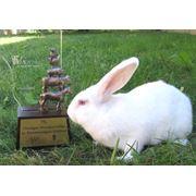 Реалезуем кроликов новой мясной породы Белый Паннон. фото