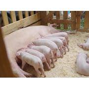 Свиньи племенные племенные свиньи продажа племенных свиней купить племенных свиней свинья породы свиней куплю свиней свинья домашняя продажа свиней выращивание свиней фото
