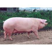 Комбикорм для сельскохозяйственных животныхЗерно продажа и закупкакомбикормпшеницазерновые культурыкомбикорм для козкомбикорм для свиней фото