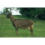 Козы - Американская Ламанча фото