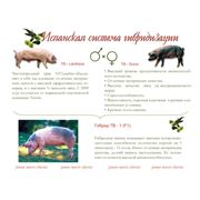 Свинки Дюрок F1 (Испанская селекция) фото