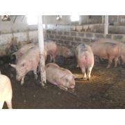 Свиньи беконной породы фото
