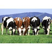 Сперма быков для разведения племенных пород КРС фото