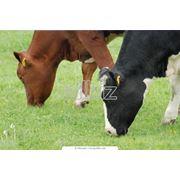 Скот крупный рогатый молочный фото