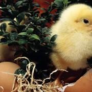 Молодняк птицы, инкубация, продам фото