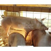 Свиньи фото