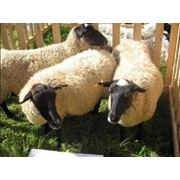Овцы романовские купить купить по Украине фото