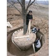 Пересадка крупномеров, взрослых деревьев фото