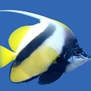 Рыба Бабочка вымпельная белоперая фото