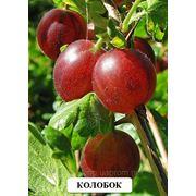 Коллекционные сорта ягодных культур:малины,смородины,крыжовника,йошты саженцы фото