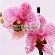 Отдушка орхидея фото
