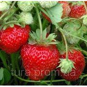 Супер клубника вьющаяся, 15 семян (БЕСПЛАТНАЯ ДОСТАВКА) купить фото