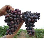 Саженцы винограда Бордовая мантия фото