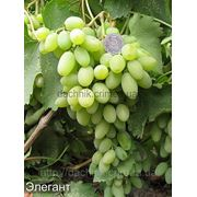 Виноград Элегант фото