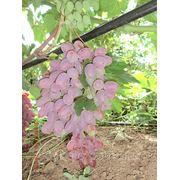Саженцы винограда Огненный фото