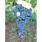 Саженцы винограда Райский фото