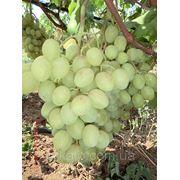 Саженцы винограда Шарада фото