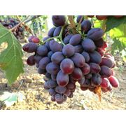 Саженцы винограда Алиса фото