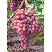 Виноград к-ш Лучистый - мечта виноградаря фото