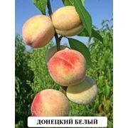 Донецкий белый сорт персика выведен в Артемовске фото