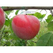 Саженцы яблони деличия фото