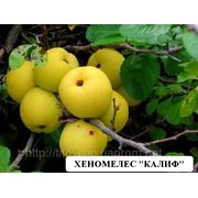 Саженцы малораспространенных плодовых культур фото