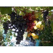 Саженцы плодовых деревьев и столовых районнированных сортов винограда фото
