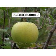 Саженцы яблони для людей страдающих аллергией на красноплодные сорта фруктов фото