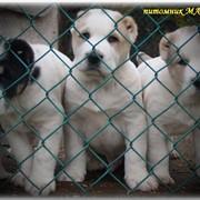 Высокопородные щенки фото