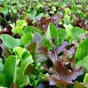 Семена салата МИКС фото