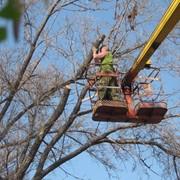 Спил аварийных деревьев в алматы фотография