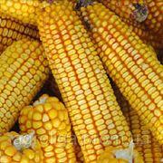 Насіння кукурудзи ДКС 3759 ФАО 290 фото