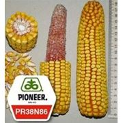Кукуруза пионер ПР38Н86 / PR38N86 ФАО 320 фото