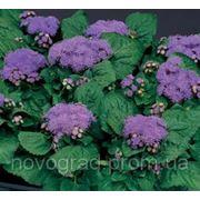 Ageratum houstonianum, агератум Хоустона - Fields F1, Сингента - 1000, 500, 250, 100 семян фото