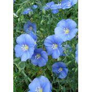 Льон багаторічний (Linum perenne, Blue) фото